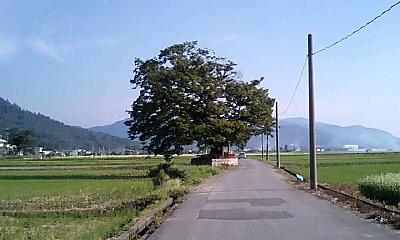 多賀大社のケヤキ