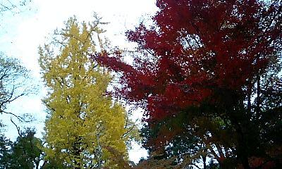紅葉とイチョウの大木