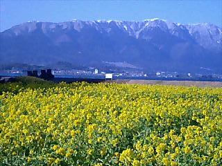 菜の花畑と比良の雪山