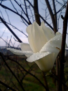 雨に濡れた白木蓮の花