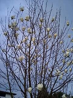 白木蓮の木