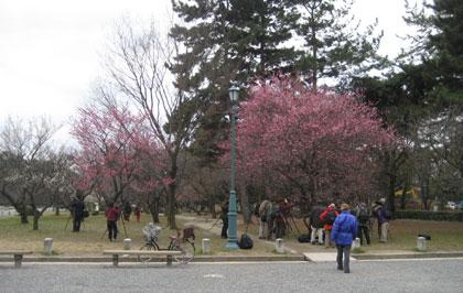 京都御苑の梅 満開の木は主役!
