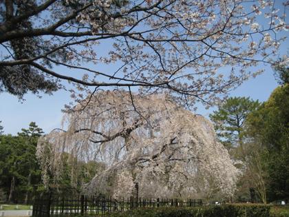 京都御苑 小川の糸桜
