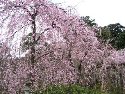 天龍寺のしだれ桜