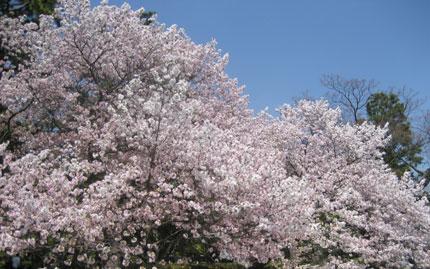 御苑の八重桜