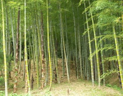 天龍寺の竹薮