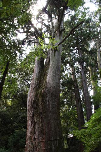 樹齢七百年の杉