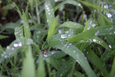 雨にぬれる露草