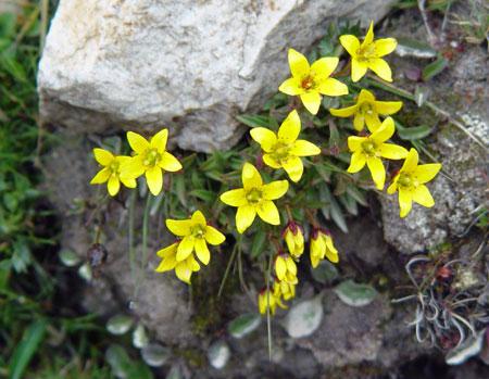 Flowers in Tibet