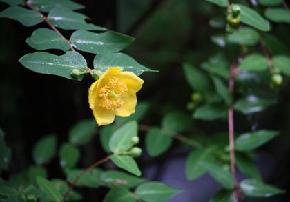 雨に濡れる金糸梅