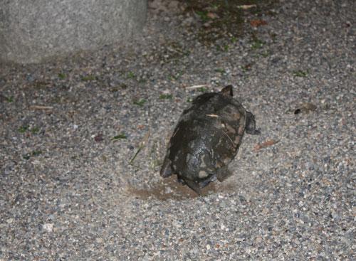 産卵中の石亀