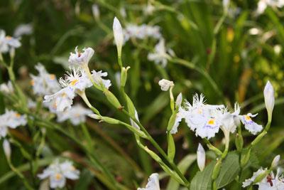 根来寺境内に咲くシャガ