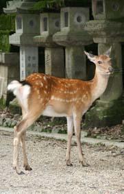 奈良の鹿_神の使い
