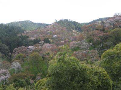 世に聞く吉野の桜