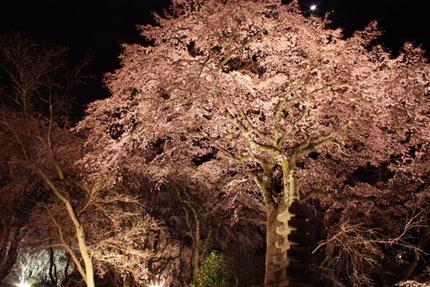 佐野藤右衛門邸の夜桜